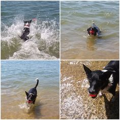 Don't let the Dog Days of Summer pass without letting us help your dog cool off by booking an Exclusive Excursion to the dog beach! Please visit our website for further information. Dog Walking Services, Beach Adventure, Dog Beach, Pet Sitting, Dog Days, Pet Care, Boston Terrier, Your Dog, To Go