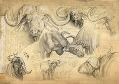 Wildlife Artist Marcello Pettineo [IMG] Central African Savannah Buffalo [IMG] Cameroon I came across Marcello Pettineo's work over a year ago on a. Bird Drawings, Animal Drawings, Afrique Art, Wild Animals Photos, Nature Sketch, Animal Sketches, African Animals, Wildlife Art, Animal Design