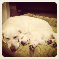 My sweet labradors:)
