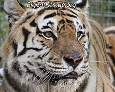 """Andy says, """"Hey, check it out! Big Cat Updates are posted early!""""https://bigcatrescue.org/may-9-2017/"""