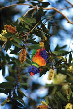 A colorful bird native to #Australia lights up the landscape. #RoyalCaribbean