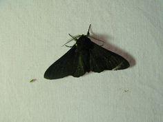 Peper en zoutvlinder, vrouwtje