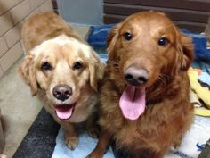 These are Joey - 6 yrs (female/blond) & Cinnamon - 4 yrs (red/male) Their owner passed away. They are spayed & neutered, current on vaccinations, potty trained, get along with other dogs, cats & kids. Joey is hypothyroid, so she requires a small, inexpensive pill every day. They are looking for a forever home together and are at Golden Treasures Golden Retriever Rescue, Ohio.