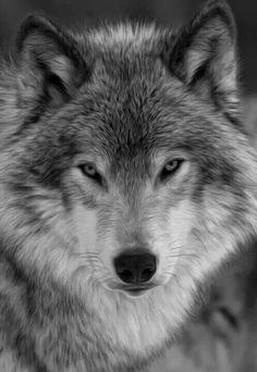 Beatiful Wolf