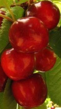 cerezo. Árbol que alcanza hasta 30 m de altura. Tronco recto, anillado y rojizo de unos 50 cm de diámetro. El fruto (cereza) es una drupa de color rojo ... Las partes utilizadas son los pedúnculos de los frutos.