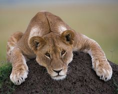 Lion by http://nomads.35photo.ru/