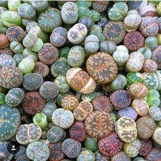 """Succulents! on Instagram: """"Lithop love!  #leafandclay #succulents #lithops (: @plantgetenough)"""""""