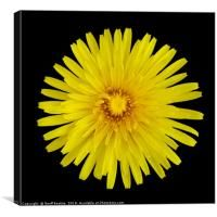 Dandelion with digital airbrushing, Canvas Print