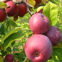 Discount Fruit Trees, Shade Trees, Berry Plants and More! Deciduous Trees, Flowering Shrubs, Pear Trees, Fruit Trees, Apple Tree, Red Apple, Berry Plants, Apple Varieties, Types Of Fruit
