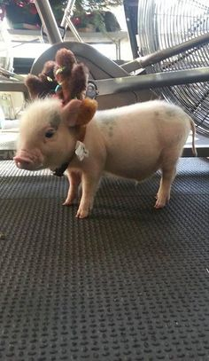 If this pig can work out, so can you!