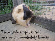 Having A Cold Meme Cold guinea pig meme