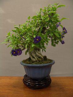 Árbol Bonsai