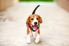 What does it mean when a dog wags its tail? How do you interpret dog wagging tail behavior? Find out why dogs wag their tails by visiting our website.