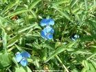 THE weed - Commelina cyanea - Scurvy Weed - Weed, Weeds