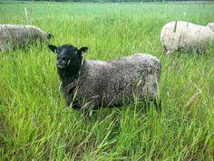 http://stadoowiec.pl # ekologiczny wypas owiec
