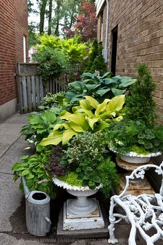 Hostas and other perennials, annuals and shurbs in cast iron urns in a sideyard container garden.