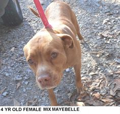 EU date 03/30/16 - Maybelle is a pretty brindle 4 yr old mix breed dog who just wants to be someone's special dog. The shelter is FULL, Please don't leave her there. . Call Silvia and Debbie now,,,,,Silvia is 910-876-0539 and Debbie is 339-832-0806. If Silvia's mailbox is full you can Text her. Transportation is generally available up and down the East Coast from NC, VA, MD, NJ, PA, NY and the North East