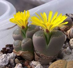 lithops helmuthii...i had no idea these succulents flowered...i might get one now.