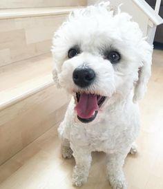 #poodle #bichon #bichpoo #bichonfrise #poochon #rescuedog #paws #dogs #petsofinstagram #Dog_Features #clawsorpaws #PoshPamperedPets @maviswangphoto #instadog #dogsofinstagram