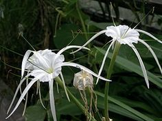 Beach Spiderlily (hymenocallis littoralis): Hymenocallis littoralis or the beach spider lily is a plant species of the genus Hymenocallis, native to warmer coastal regions of Latin America and widely cultivated and naturalized in many tropical countries. https://en.wikipedia.org/wiki/Hymenocallis%20littoralis