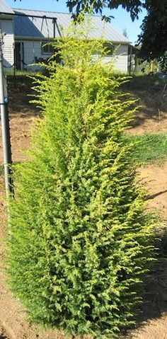 """36"""" now BAP. 7-9' x 2-3' dwarf gold cone juniper. Likes full sun. Can prune lightly to contain size if desired."""