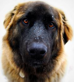 A Leonberger looking into the camera. Beautiful dogs!