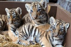 Three Amur Tiger cubs, born July 7, are currently on display at Omaha's Henry Doorly Zoo and Aquarium. The cubs (two males and one female) went on exhibit with their mother, Isabella, who is a first-time mom. Check out ZooBorns to learn more and see more pics! http://www.zooborns.com/zooborns/2016/08/tiger-trio-debuts-at-omahas-henry-doorly-zoo-.html