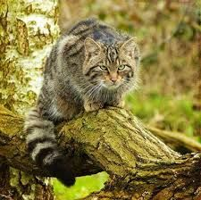 gato montes asturias - Buscar con Google