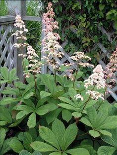 "Rodgersia aesculifolia         zones 4-7   part sun / shade  36""-48"""