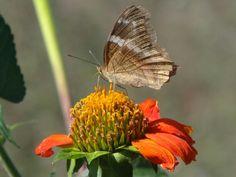 Mariposa en flor de tacote
