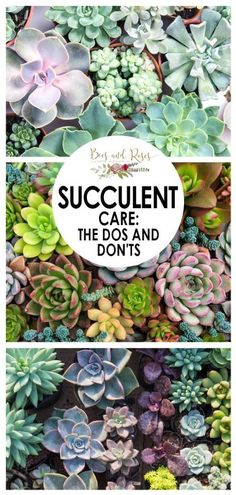 Succulent Care: The Dos and Don'ts ~ Bees and Roses - - A guide to succulent care so you can have perfect succulents! Tips for caring for your succulents so they grow incredibly! Never over-water your plants again! Succulent Rock Garden, Succulent Outdoor, Succulent Landscaping, Succulent Care, Succulent Gardening, Garden Plants, Garden Landscaping, Air Plants, Succulent Terrarium