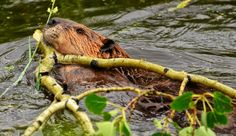 Wild Beaver at Work by Jeff Clow, via 500px