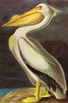 Audubon WHITE PELICAN   - Print on Rolled Canvas