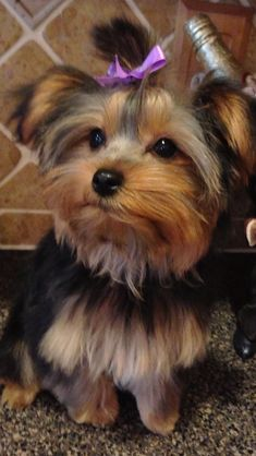 Female Yorkie Haircuts - Bing Images