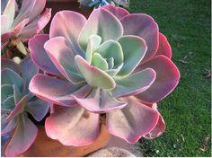 景天拉丁文学名目录集之Echeveria—拟石莲花属 Echeveria—拟石莲花属是景天家庭中的一个大属,约有167种。原产于中美洲的半沙漠地区,从墨西哥到中美洲和南美洲都有它们的分布。多数拟石莲来自高海拔地区,只要能提供良好的空气流通以及早晚的高温差,就能造就它们美丽的色彩。 【Echeveria gibbiflora 粉彩莲】