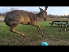 This adorable baby deer tries to play with a ball and fails, but then tries again | Rare