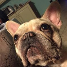Nobody loves you as much as a French Bulldog!
