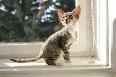 Ararheon Sorantho Devon Rex kitten