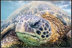 Honu Love: Up close and personal with a Hawaiian Green Sea Turtle.