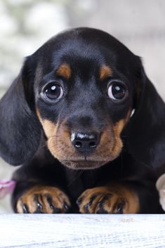 """Receive fantastic tips on """"dachshund pups"""". Cute Baby Dogs, Cute Baby Animals, Cute Puppies, Dogs And Puppies, Funny Animals, Doxie Puppies, Doggies, Miniature Dachshund Puppies, Chihuahua Dogs"""