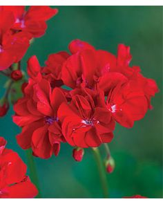 Geranium, Stardom Red