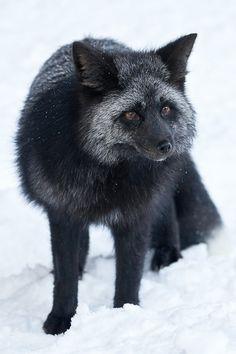 """Silver Fox von Lee Rentz"""" - A - All Creatures Great and Small -""""Cascade Silver Fox von Lee Rentz"""" - A - All Creatures Great and Small - Animal 2, Mundo Animal, Beautiful Creatures, Animals Beautiful, Animals And Pets, Cute Animals, Strange Animals, Wolf Hybrid, Cute Fox"""