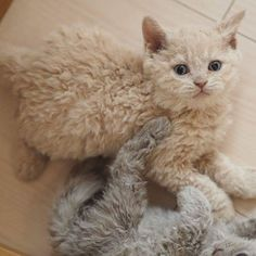 20 Poodle Cats That Are Too Cute For This World - I Can Has Cheezburger? 20 Poodle Cats That Are Too Cute For This World - World's largest collection of cat memes and other animals The Animals, Cute Baby Animals, Funny Animals, Funny Cats, Animals Photos, Wild Animals, Animal Pictures, Cute Kittens, Cats And Kittens