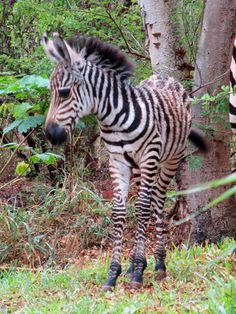 His Young Majesty the baby zebra posed for a moment before proceeding to devour our lawn for breakfast.