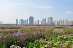 Taiyuan Fen River Waterfront Landscape Design | Tiayuan China | AECOM wetland flowering plants skyline river