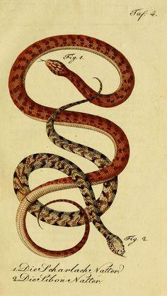 herrndelacepedes04lac_0069 | por The Ernst Mayr Library