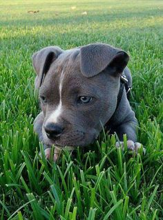 Pitbulls. Animals. Dogs.