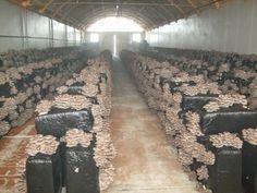 cogumelos - cultive em palhas