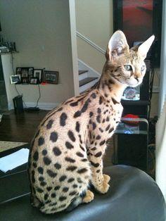 Client Brag Page - Savannah Cats - Select Exotics #savannahcats #exoticcats #cats