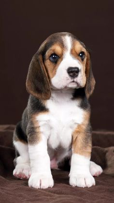 Cute Baby Dogs, Cute Little Puppies, Cute Dogs And Puppies, Cute Little Animals, Pet Dogs, Pets, Doggies, Baby Beagle, Beagle Puppy